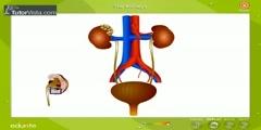 Kidney in Human
