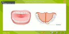 Functioning of Teeth