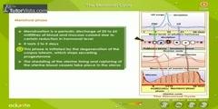 Menstrual Cycle in Females