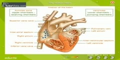 Characteristics Of The Human Heart