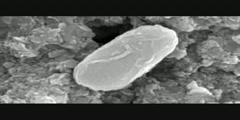 Organisms In Meteorites