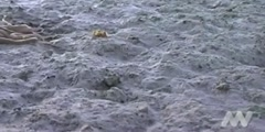 Octopus walks on a dry land