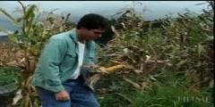 Breeding Corn from Teosinte