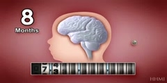 The human embryonic brain development