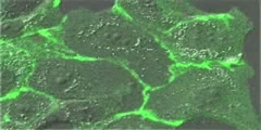 Adhesion junctions at epithelial cells