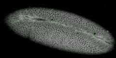 Drosophila gastrulation/ventral furrow formation