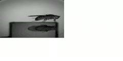 Fruit fly escape - slow motion