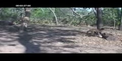 Wild capuchins use stone tools