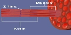 Molecular basis of muscle contration.