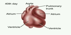 NurseReview.Org - Animation of the Heart (Human Anatomy)