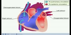 NurseReview.Org - Animation on Blood Flow in the Atria