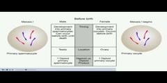 NurseReview.Org Animation on Spermatogenesis and Oogenesis