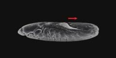 Development of a Drosophila Embryo