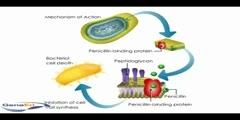 Penicllin mechanism