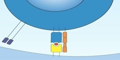 T Cell Development Animation