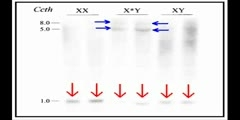 Sex Chromosomes that are Selfish 2