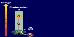 Photosynthesis: non cyclic phosphorylation