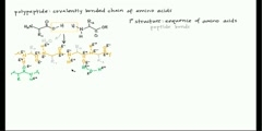 An explanation of amino acids and protein structure