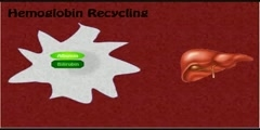 How does Red Blood Cell Recycling occur?
