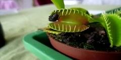 Venus flytrap engulfing a fly
