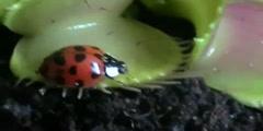 Venus flytrap trapping a bug