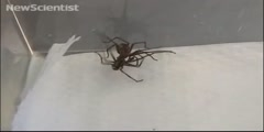 The trick used by male spiders to mate