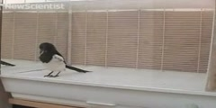 Magpies can recognize themselves in a mirror