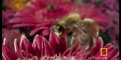 Jumping Spider is hunting bee