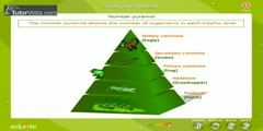 Ecological pyramid