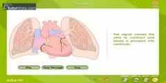Heart Beat in Human
