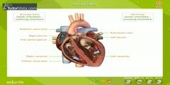 How Do Human Hearts Work?