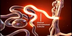 Urinary system  The nephron Animation