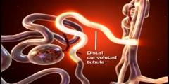 Urinary system the nephron animation