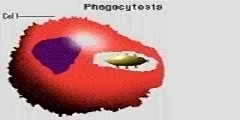 Phagocytosis Animation