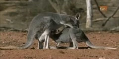 The Red Kangaroo - Mutant Planet