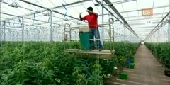 How It's Made - Green House Tomatoes