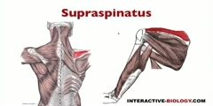 What are the six intrinsic shoulder muscles?