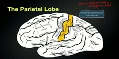 Parietal Lobe- Its Anatomy And Functions