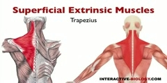 Working of Superficial Extrinsic Shoulder Muscles