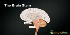 Functions of the brain stem parts