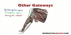 Posterior Scapular Regions Gateways