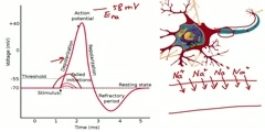 A Look at the Action Potential