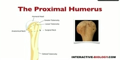 The Proximal Humerus Structure