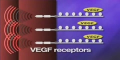 Vascular Endothelial Growth Factor and VEGF receptors
