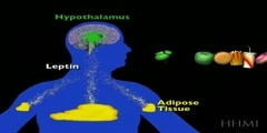 Leptin And Its Feedback Control System