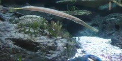 A cornet fish up close