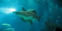 Ocean sunfish- sandtiger Shark