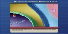 Mechanism of Steroid Hormone Action
