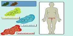 The Estrogen Receptor (I): Hormonal Mechanisms in the Body