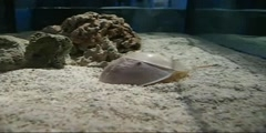Process of Molting Horseshoe Crab